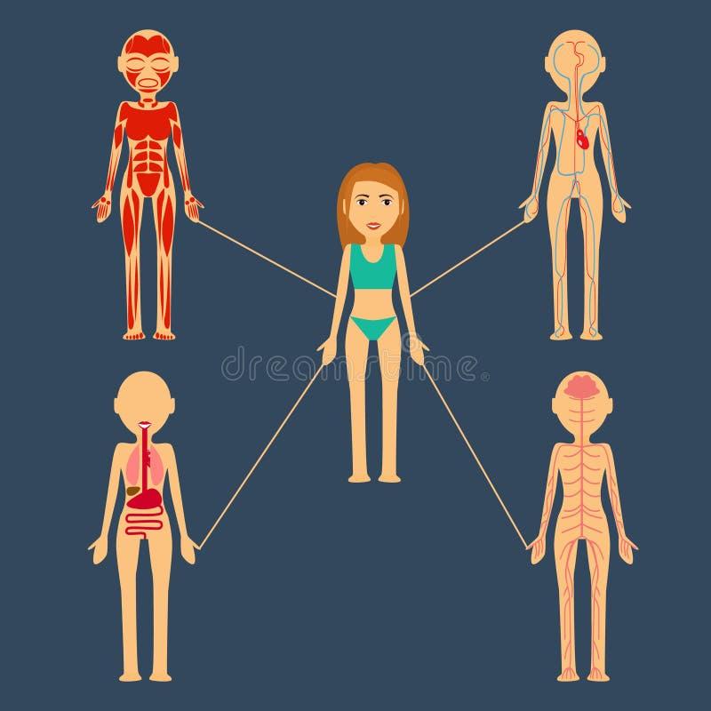 Illustrazione di vettore Organi umani massa di mishichnaya, osso, sistema nervoso, sangue, linfatico illustrazione di stock
