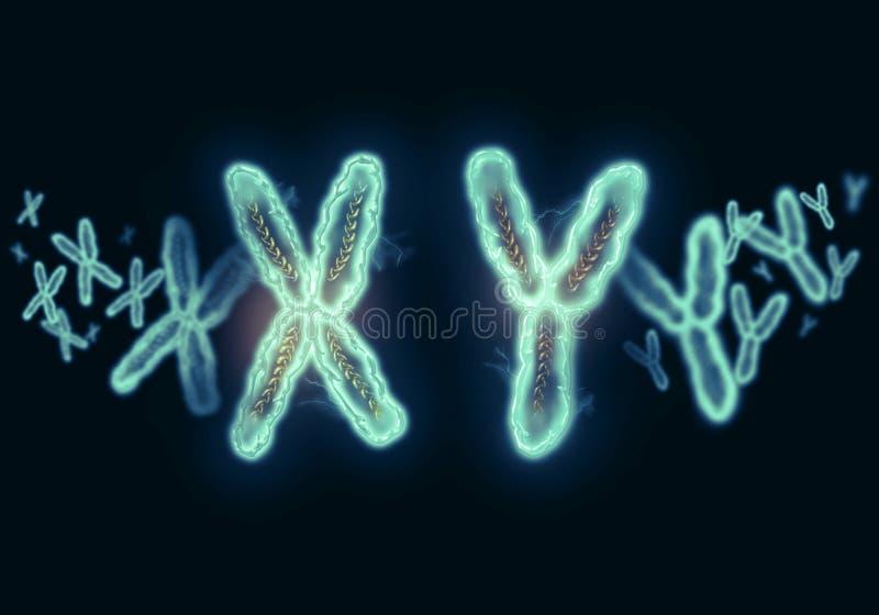 Illustrazione DI X-Y del cromosoma immagini stock libere da diritti