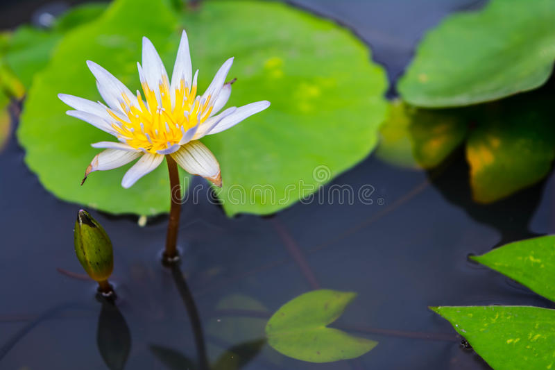 Illustrazione di zen del fiore di loto immagine stock