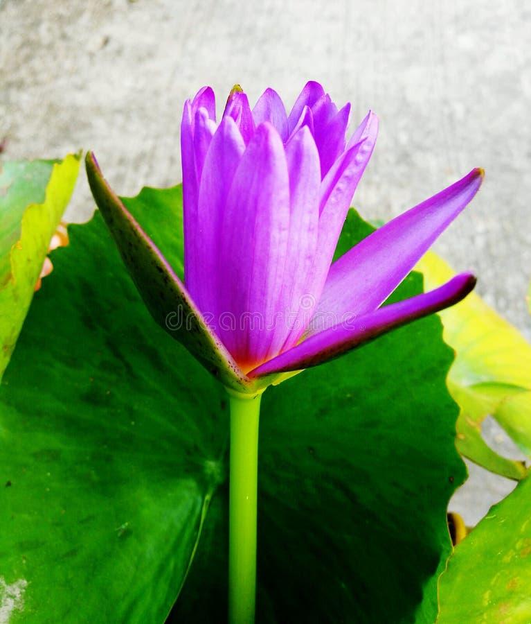 Illustrazione di zen del fiore di loto immagini stock libere da diritti