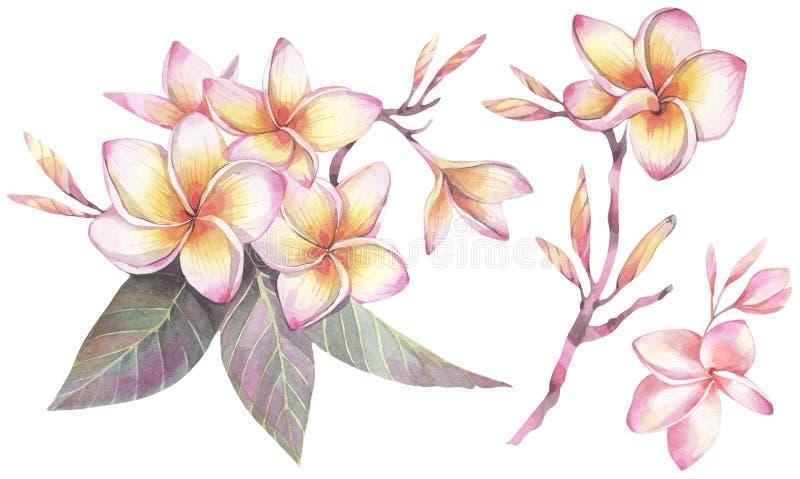 Illustrazione dipinta a mano dell'acquerello Insieme botanico con i fiori della plumeria royalty illustrazione gratis