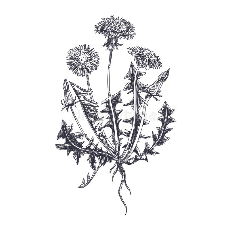 Illustrazione disegnata a mano del dente di leone di vettore royalty illustrazione gratis
