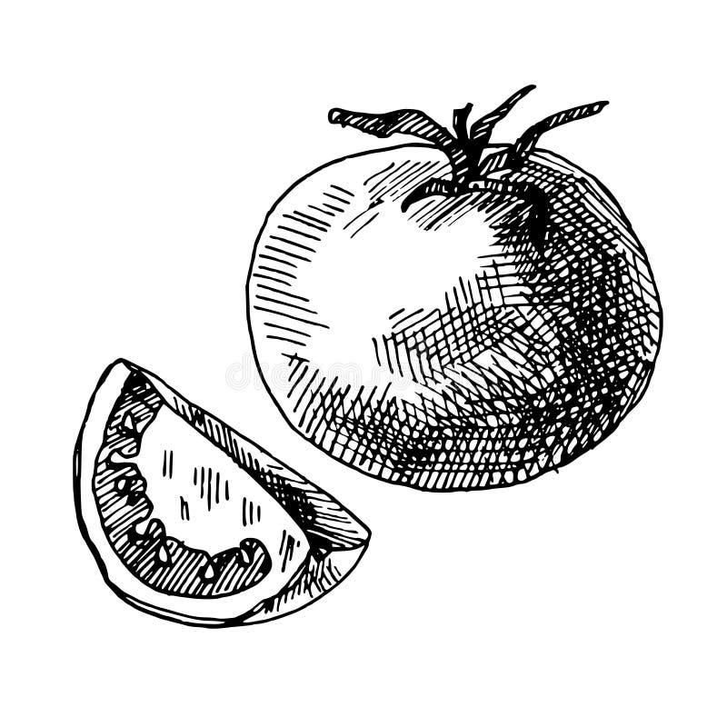 Illustrazione disegnata a mano del pomodoro immagini stock libere da diritti