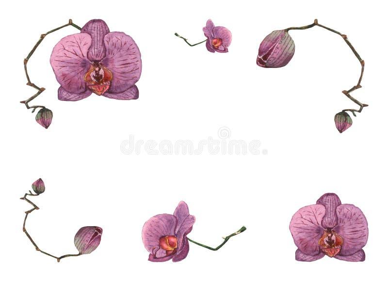 Illustrazione disegnata a mano dell'acquerello dei fiori e dei germogli porpora dell'orchidea sui precedenti bianchi illustrazione vettoriale