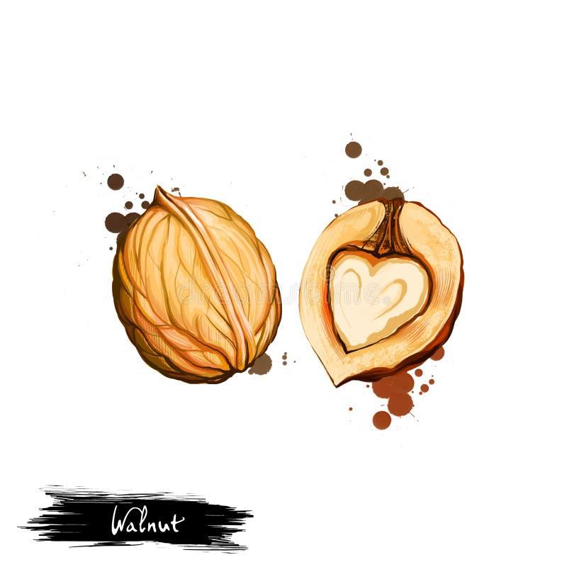 Illustrazione disegnata a mano della noce o della juglans regia isolata su fondo bianco Alimento sano organico Arte di Digital co illustrazione vettoriale