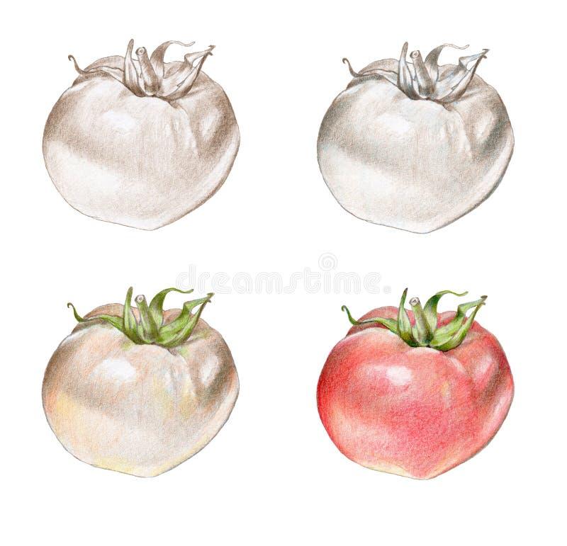 Illustrazione disegnata a mano di un pomodoro fotografia stock libera da diritti