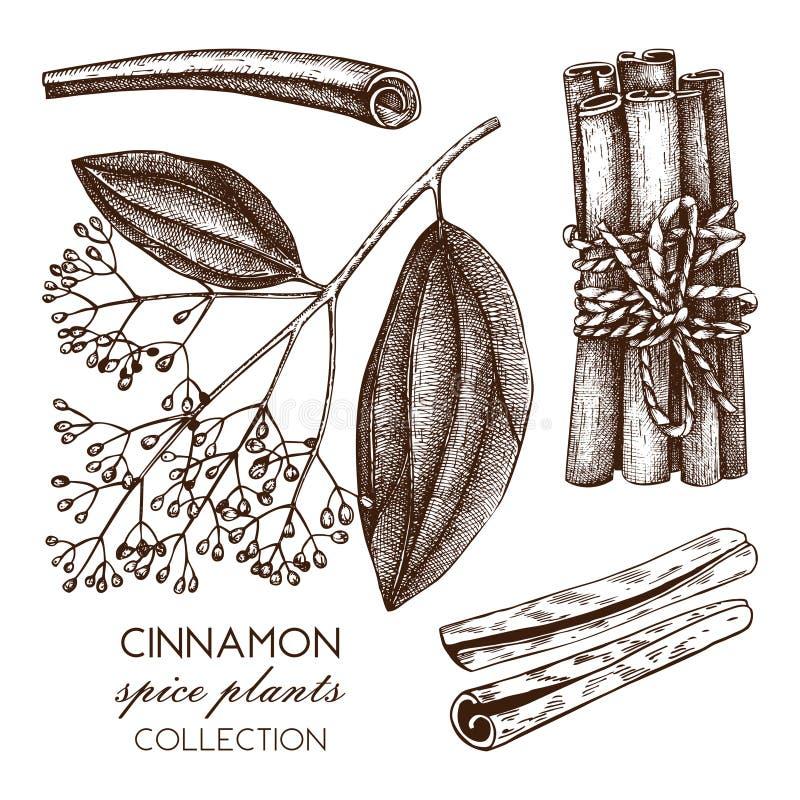 Illustrazione disegnata a mano di vettore di cassia su fondo bianco Schizzo della spezia della cucina Disegno d'annata della cort illustrazione vettoriale