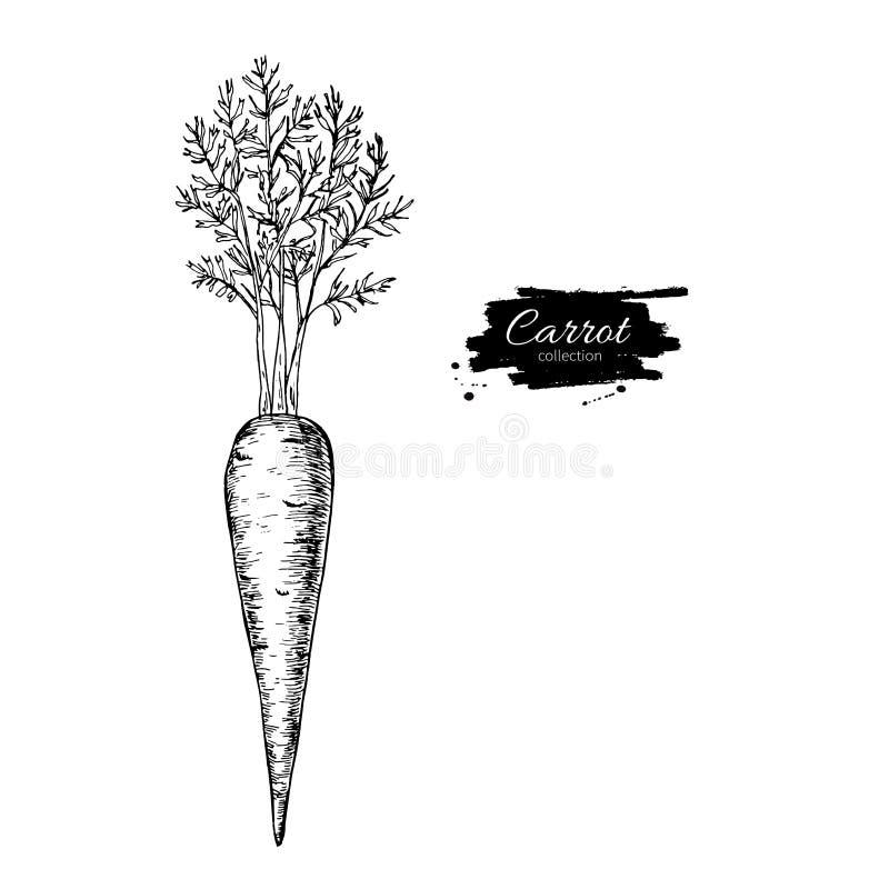 Illustrazione disegnata a mano di vettore della carota Engrav di verdure isolato illustrazione di stock