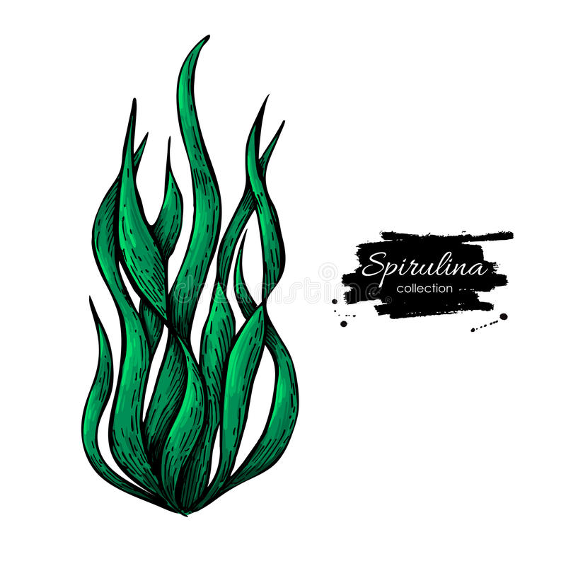 Illustrazione disegnata a mano di vettore della polvere dell'alga di Spirulina Alghe isolate di Spirulina su fondo bianco royalty illustrazione gratis