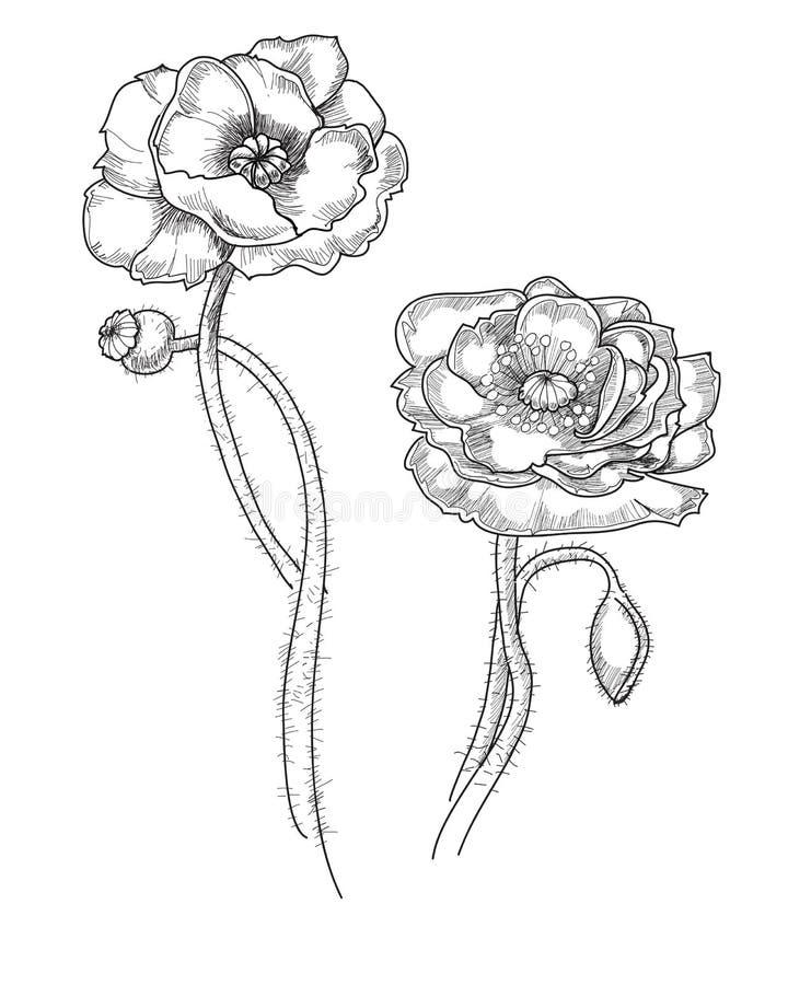 Illustrazione disegnata a mano monocromatica del papavero coltivato illustrazione vettoriale
