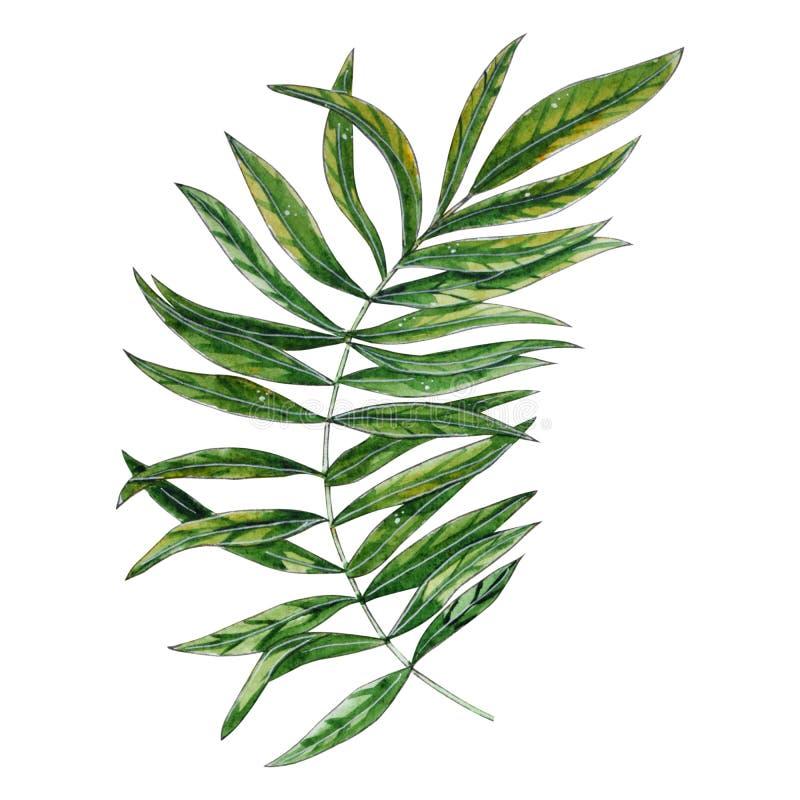 Illustrazione floreale tropicale dell'acquerello con la foglia verde illustrazione vettoriale
