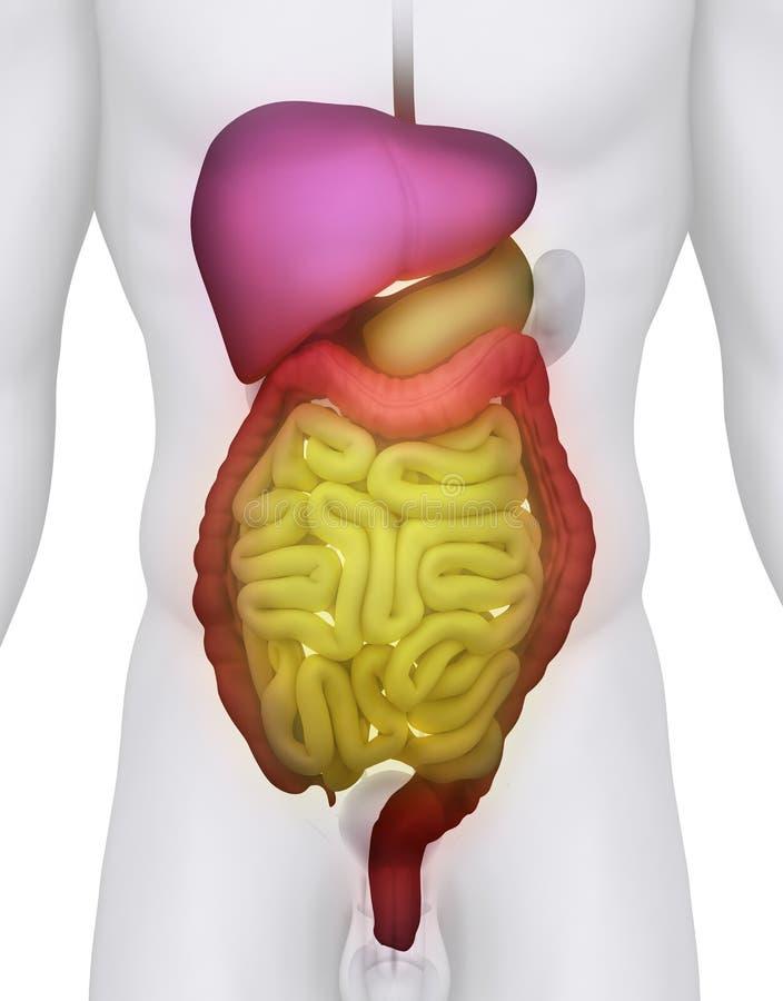 Illustrazione maschio di anatomia del SISTEMA DIGESTIVO illustrazione di stock