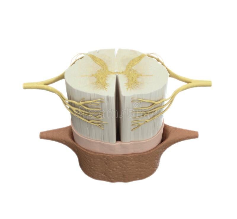 Illustrazione medica del midollo spinale fotografie stock libere da diritti