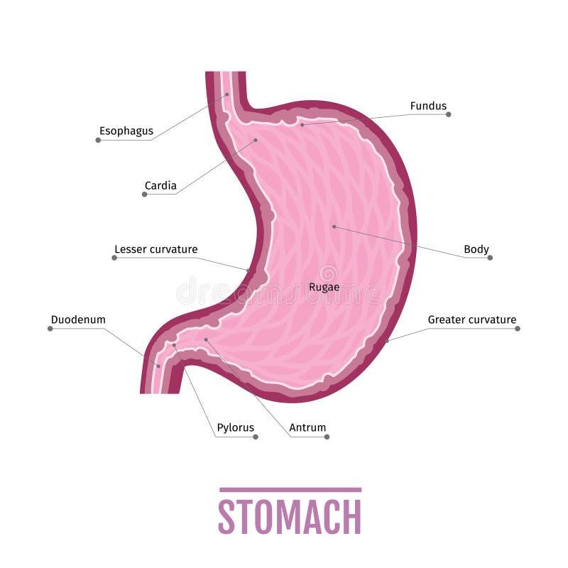 Illustrazione medica dello stomaco umano schema per i manuali royalty illustrazione gratis