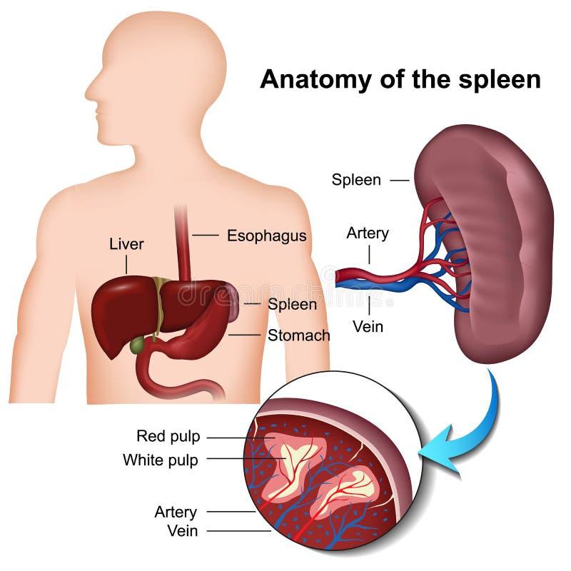 Illustrazione medica di anatomia 3d della milza illustrazione vettoriale