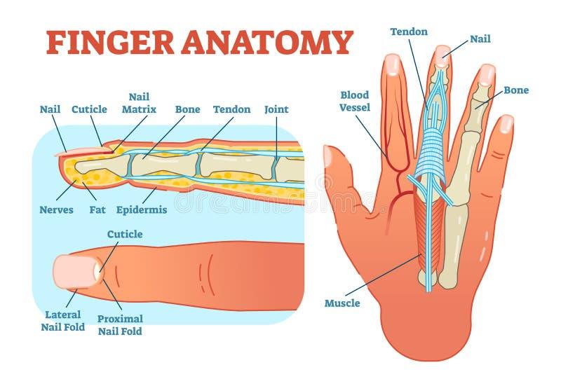 Illustrazione medica di vettore di anatomia del dito con le ossa, lo schema del muscolo e la sezione trasversale del dito illustrazione di stock