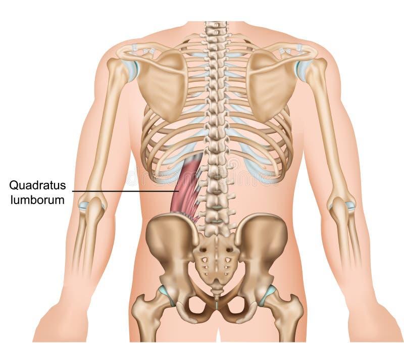 Illustrazione medica di vettore del muscolo di lumborum di Quadratus su fondo bianco illustrazione vettoriale