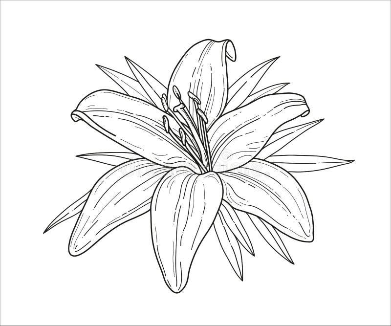 Illustrazione monocromatica di vettore del fiore del giglio Bella tigre lilly isolata su fondo bianco Elemento per progettazione  royalty illustrazione gratis