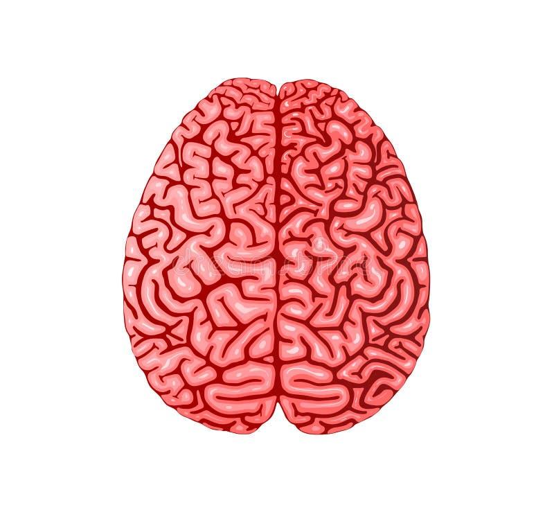 Illustrazione piana realistica di vettore di anatomia del cervello umano illustrazione di stock