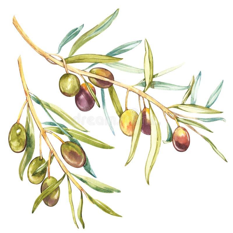 Illustrazione realistica dell'acquerello del ramo di olive nere e verdi isolato su fondo bianco Progettazione per olio d'oliva royalty illustrazione gratis