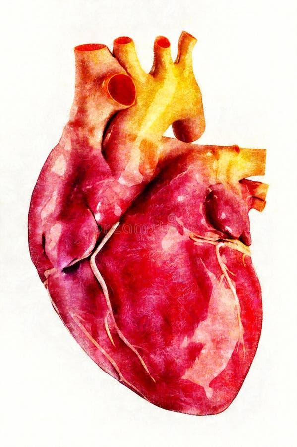 Illustrazione umana di anatomia del cuore illustrazione di stock