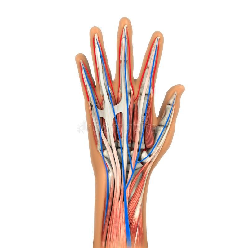 Illustrazione umana di anatomia della mano illustrazione vettoriale
