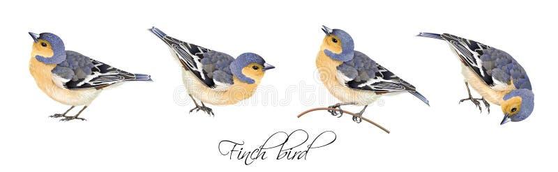 Illustrazioni dell'uccello del fringillide messe illustrazione di stock