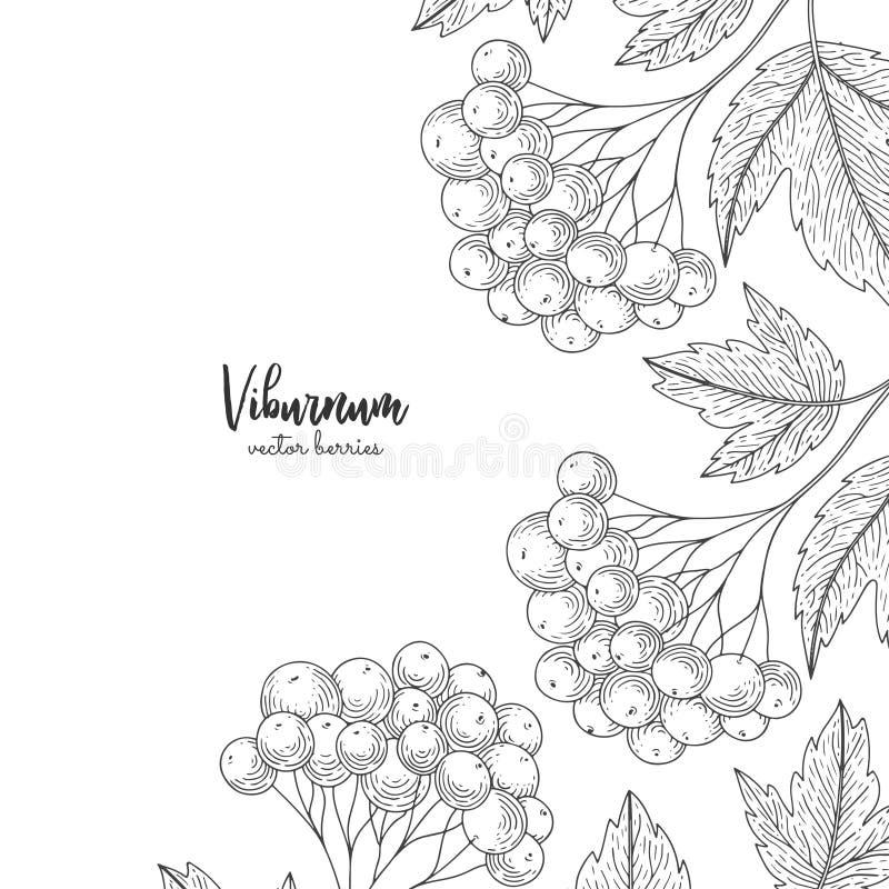 Illustrazioni disegnate a mano del viburno isolate su fondo bianco Struttura dettagliata con il viburno Stile dell'annata di schi illustrazione vettoriale