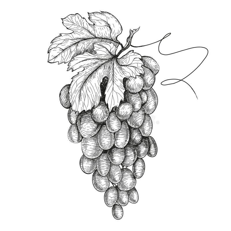 Illustrazioni disegnate a mano dell'uva illustrazione vettoriale