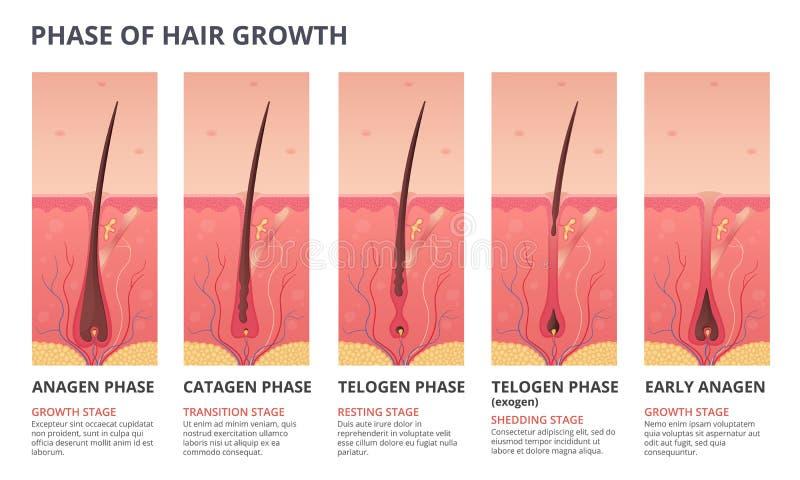Illustrazioni infographic mediche del ciclo di crescita dei capelli Immagini di vettore di biologia umana illustrazione vettoriale