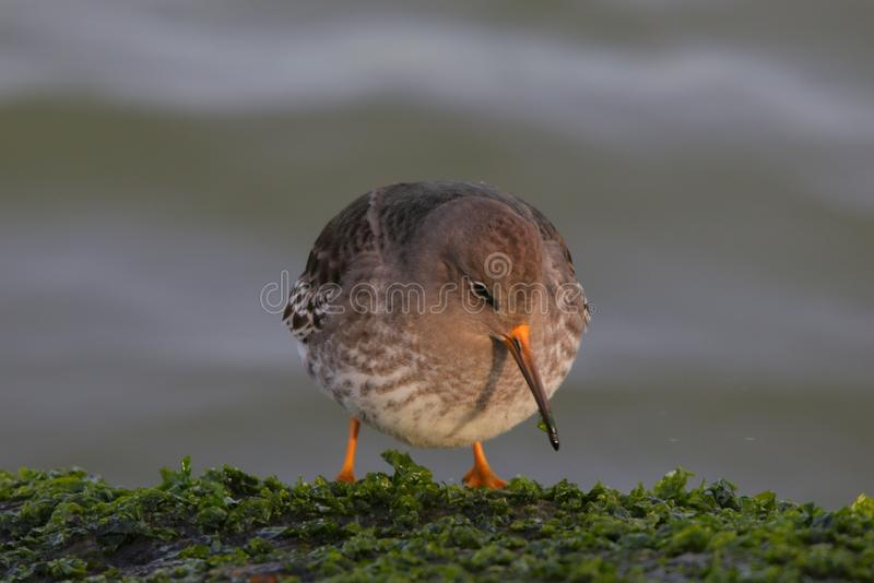 The illustrious Purple Sandpiper. This Purple Sandpiper was standing on the inlet rocks on a cold winter morning. The Sandpiper feeds off the green moss and royalty free stock images