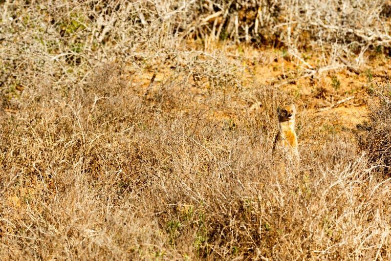 Ils ne m'ont pas vu - Meerkat - suricatta de Suricata images libres de droits