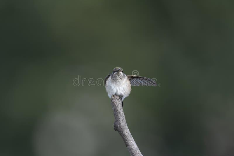 Ils ont disparu que manière - pointage de colibri photos libres de droits
