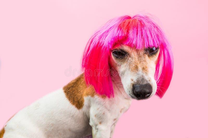Ilsken avsmak som är trött, motsättninghundframsida i rosa peruk arkivfoton