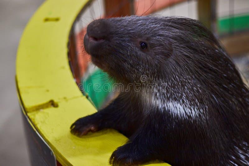 Ilsken ett piggsvin i en kontaktzoonärbild Djurskydd djur gyckel royaltyfria bilder
