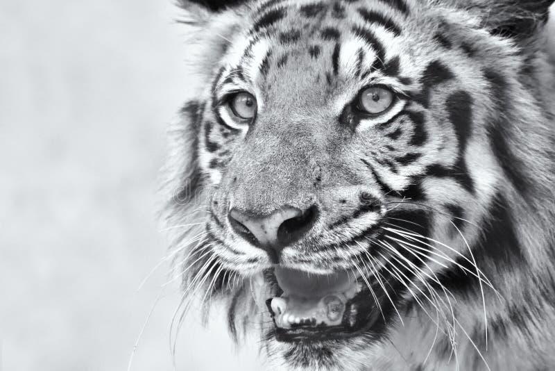 Ilsken framsida av den kungliga Bengal tigern, Panthera Tigris, Indien royaltyfria bilder