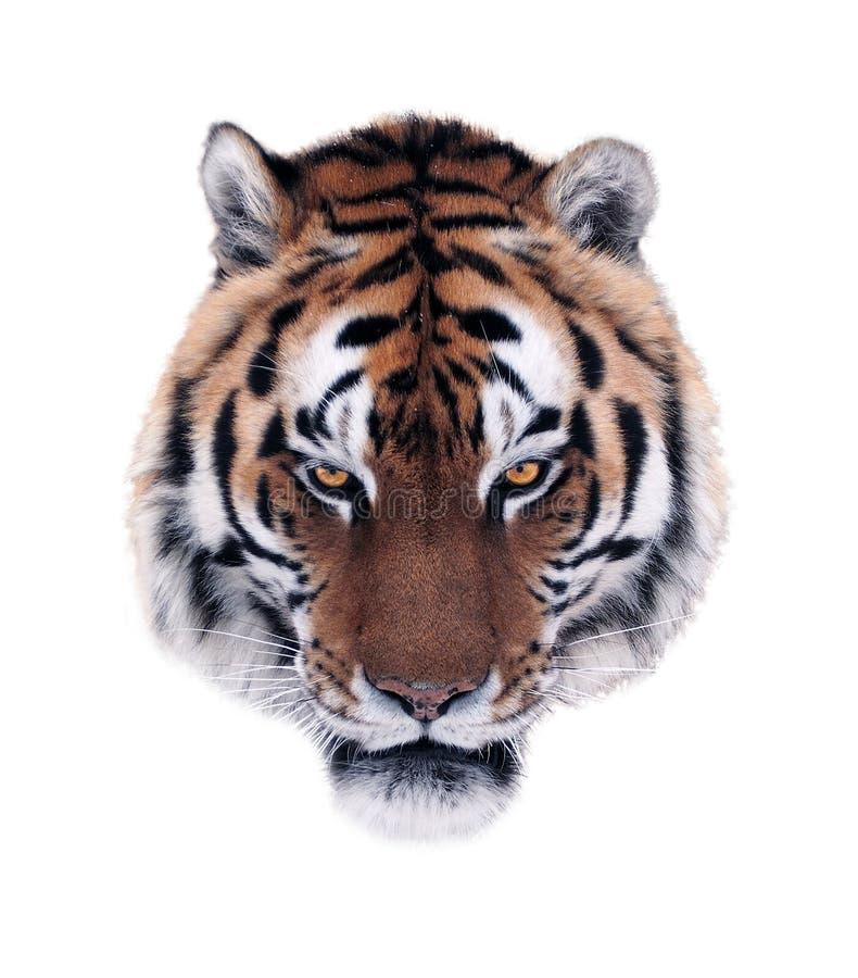 Ilsken framsida för tiger` som s isoleras på vit arkivfoto