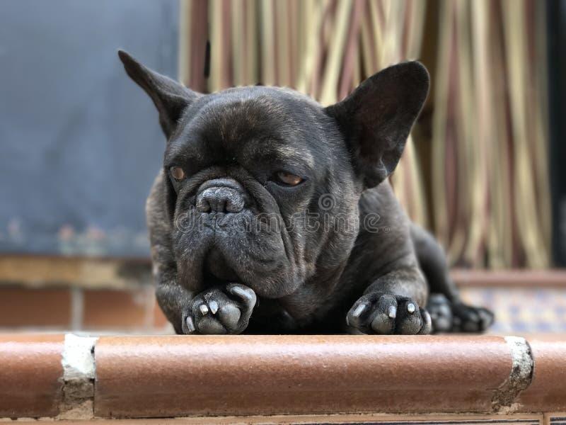 ilsken fransk bulldogg royaltyfri bild