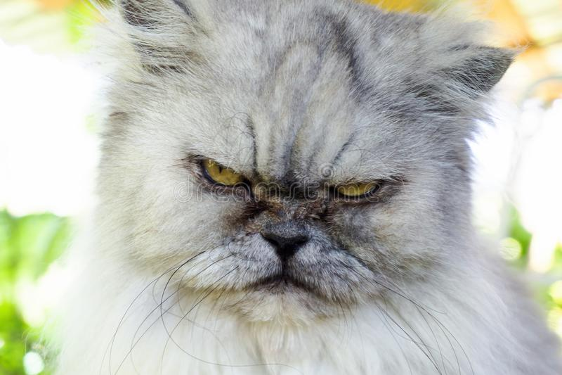 Ilsken grå katt med det olyckliga uttryckt, nära övre för stående royaltyfri foto