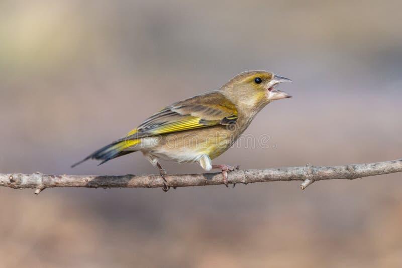 Ilsken greenfinchfågel som sätta sig på en filial med den öppna näbb royaltyfria bilder