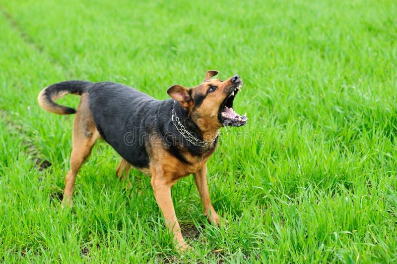 Ilsken hund på det gröna gräset royaltyfria bilder