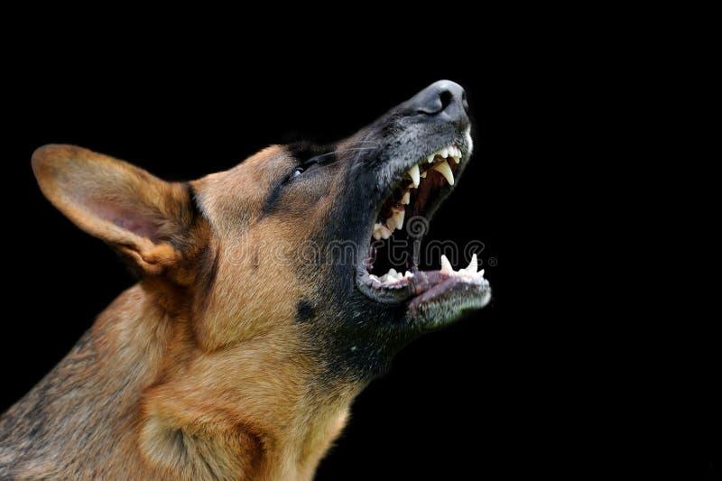 Ilsken hund på mörk bakgrund royaltyfria bilder