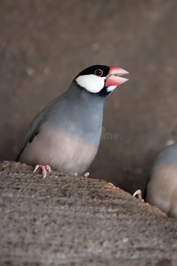 ilsken java sparrow arkivfoto