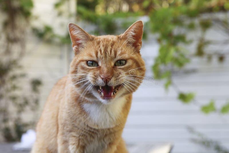 ilsken katt arkivbild