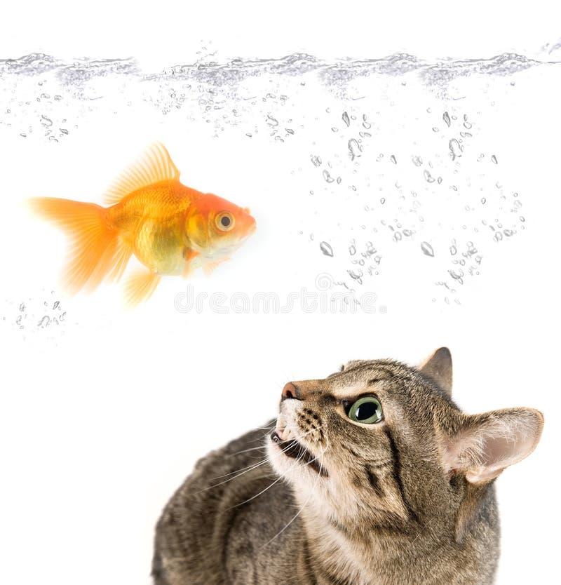 Ilsken katt- och guldfisk arkivfoto