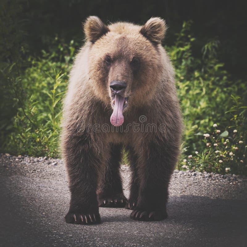 Ilsken lös Kamchatka brunbjörn som står med tungan som klibbar ut ur munnen som ser in i kamera arkivbilder