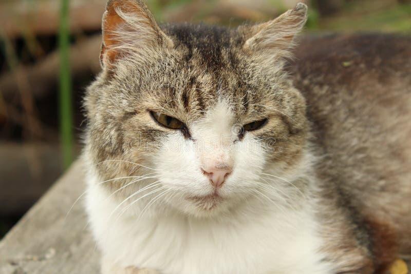 Ilsken, lat sömnig katt arkivbilder