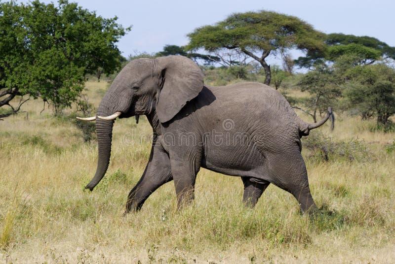 Ilsken manlig elefant royaltyfri fotografi