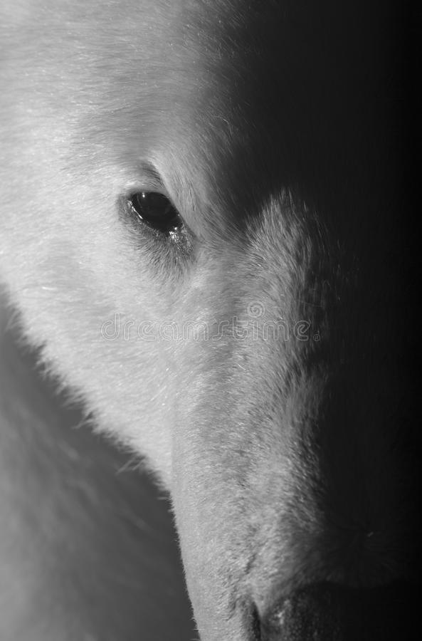 Ilsken polar björn royaltyfria bilder