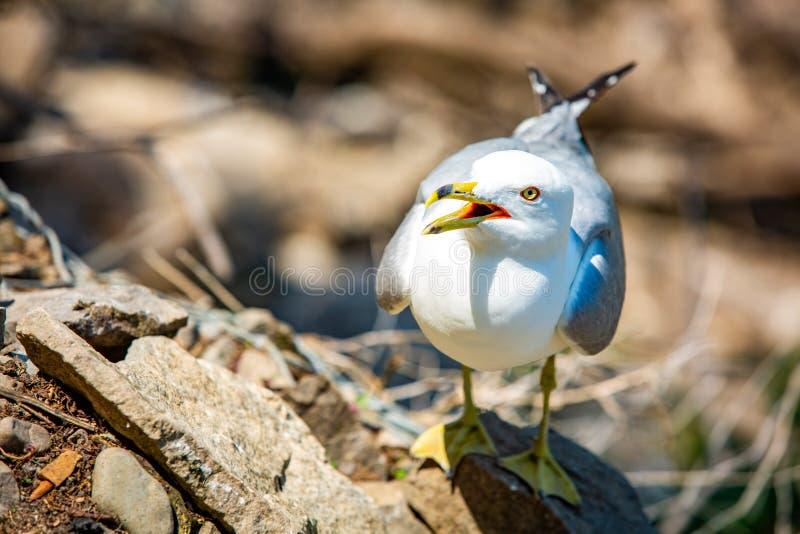 Ilsken seagull som stirrar på dig med den öppna munnen fotografering för bildbyråer